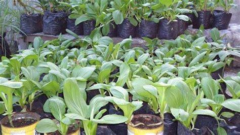 Benih Seledri Import benih sayuran impor benih sayuran import benih sayuran