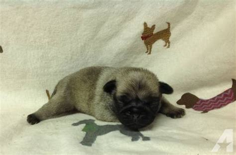 newborn pug puppies for sale ckc registered newborn pug puppies for sale in kentwood louisiana classified