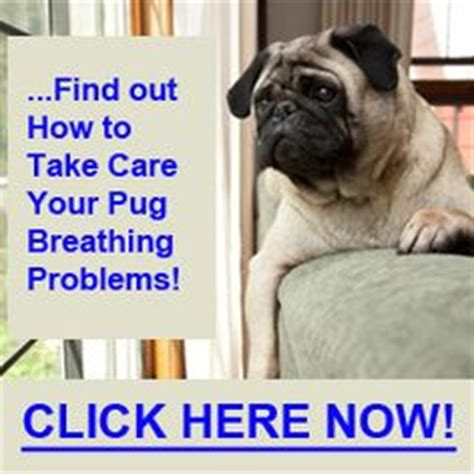 pug breathing problems 1000 images about pug problems on pug behavior and a pug