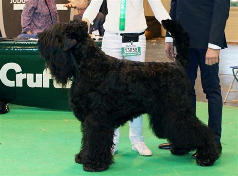 black russian terrier puppies for sale black russian terrier puppies for sale bedford bedfordshire pets4homes