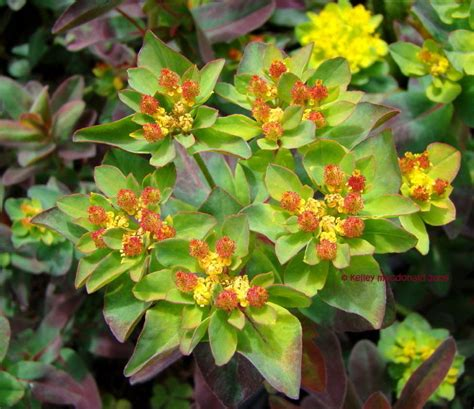 plantfiles pictures euphorbia cushion spurge bonfire