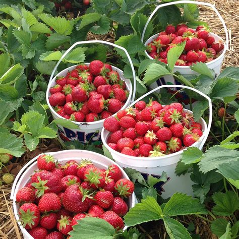 fruit near me berry fruit picking is strawberry a fruit