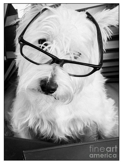 Really Portait Of A Westie Wearing Glasses Photograph by