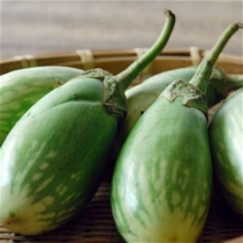 Benih Terong benih terong hijau gemuk