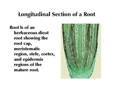 the roots section longitudinal section of a root
