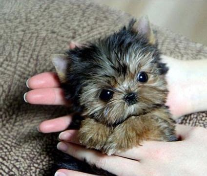 teacup yorkie grown 1000 ideas about terrier puppies on yorkie puppies