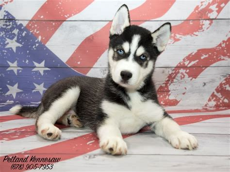 petland puppies for sale add to your pack with one of our siberian husky puppies for sale petland kennesaw