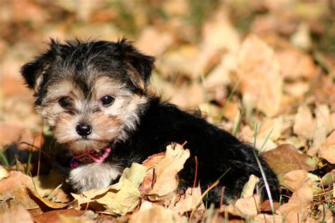teacup maltese and yorkie mix teacup maltese yorkie mix breeds picture