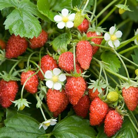 Strawberry Garden by Fruit Trees S Nursery