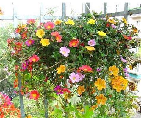 tanaman portulaca warna acak  rumpun bibitbungacom