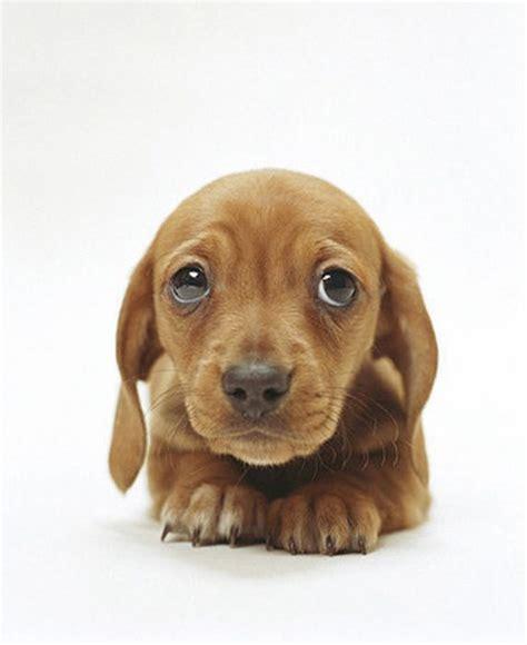 sad puppy love who can resist sad puppy dog eyes animals pinterest