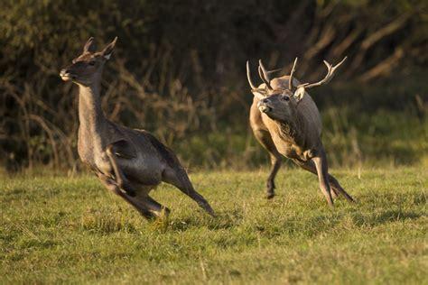 bucks email what is deer rut season effective wildlife solutions