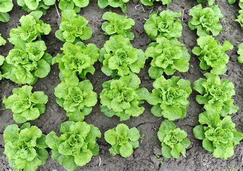 How To Lettuce From Your Garden by Top 12 Shade Tolerant Vegetables And Herbs For A Shady