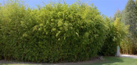 Sichtschutz Terrasse Bambus by Bambus Sichtschutz Auf Terrasse Balkon Bambushecken De