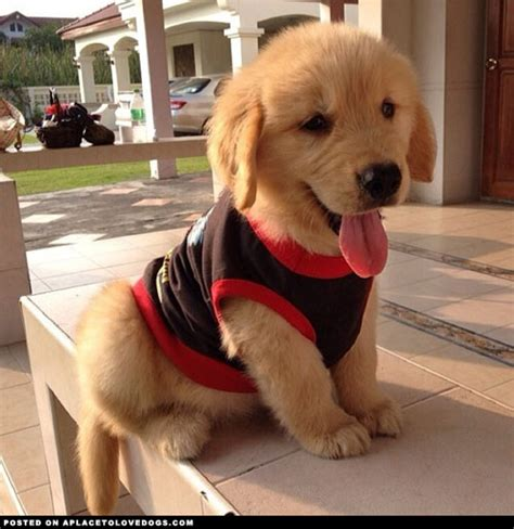 golden retriever puppy not eight reasons why golden retrievers are the best dogs odyssey
