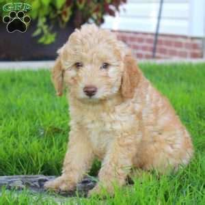 labradoodle puppies for sale ny miniature labradoodle puppies for sale in de md ny nj philly dc and breeds picture