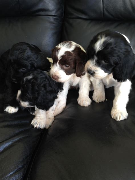 cocker poodle puppies cocker spaniel x poodle puppies for sale ashington northumberland pets4homes