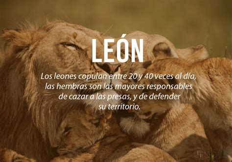 imagenes de leones romanticos los animales son rom 225 nticos y adem 225 s tienen unos
