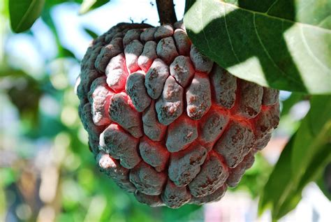Bibit Srikaya Tanpa Biji jual bibit tanaman buah srikaya