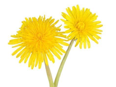 dandelion facts 13 surprising benefits of dandelion organic facts