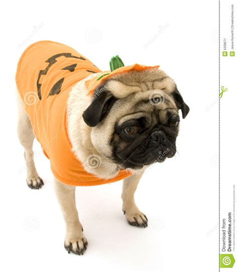 pug pumpkin costume pug standing in costume stock image image 6358671