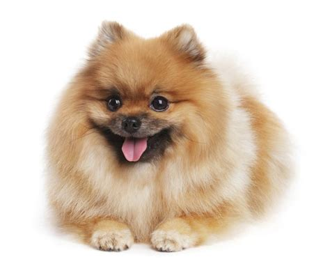 pomeranian span the span of pomeranians cuteness