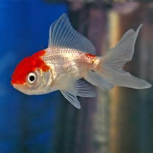 Home Lighting Control Red Amp White Oranda Goldfish Carassius Sp For Sale