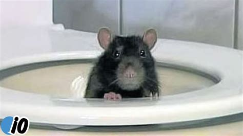 mice in bathroom man hospitalized after rat attacks him on toilet youtube