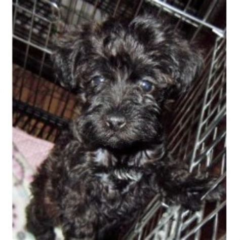 schnoodle puppies mn barmor s puppies schnoodle breeder in greenville south carolina