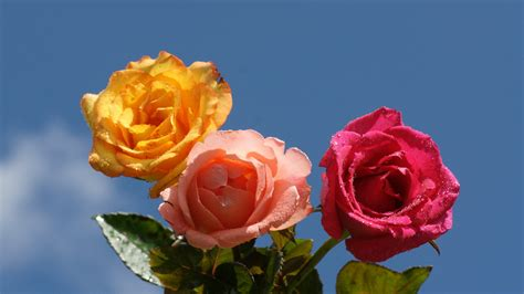 colorful rose wallpaper download rose wallpaper beautiful roses
