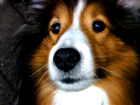 sheltie dogs fluffy sheltie by ragzx0fxlace on deviantart