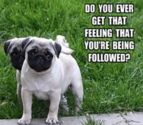 pictures of pugs with captions top 30 pug pictures with captions funnypica