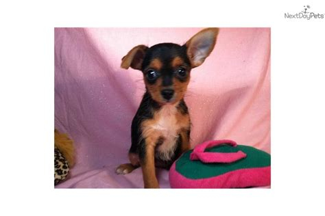 free teacup chihuahua puppies free teacup chihuahua puppy breeds picture