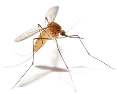 how to kill mosquitoes in backyard how to keep mosquitoes out of your yard and garden