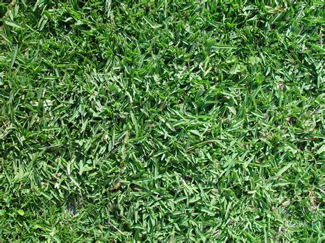 growing couch grass from seed growing buffalo lawn from seed mckays grass seeds buy