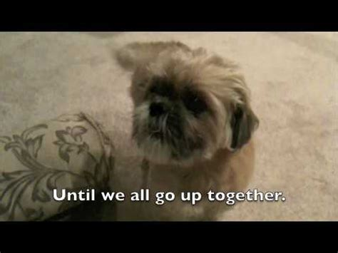 talking shih tzu taz the talking shih tzu