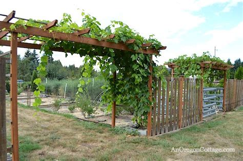 grape arbor table grapes tgp