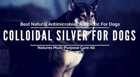 colloidal silver for dogs colloidal silver for dogs holistic pet care