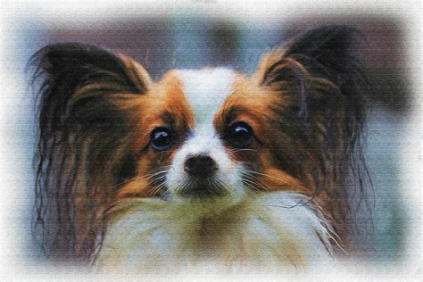 papillon price papillon painting photograph by ericamaxine price