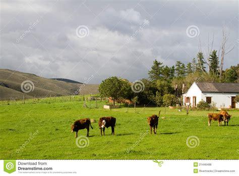 imagenes de vacas blancas cultive el paisaje rural con las vacas de hereford y