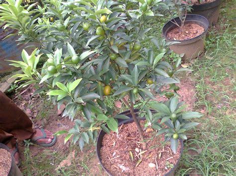 jual bibit tanaman buah jeruk nagami nagami kumquat