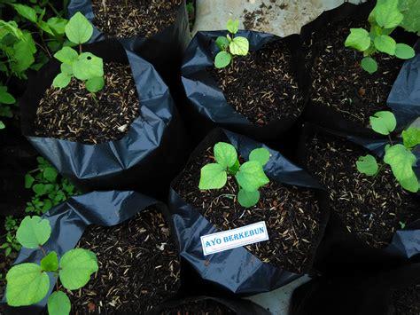 Bibit Rosela cara menanam rosella di pot polibag ayo berkebun