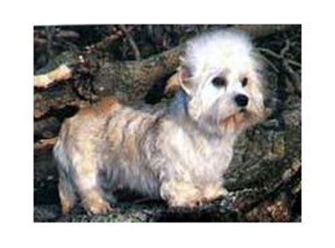 dandie dinmont terrier puppies for sale dandie dinmont terrier breed information pictures dandie hindlee terrier