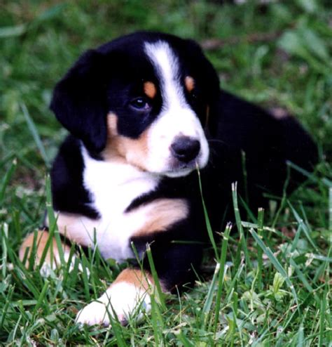 rottweiler beagle mix puppies beagle rottweiler mix image breeds picture