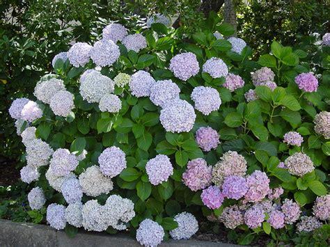 plants flowers 187 hydrangea hortensia