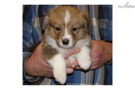 corgi puppies montana profile for wilson a pembroke corgi breeds picture