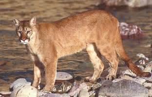 u s declares eastern cougar to be extinct