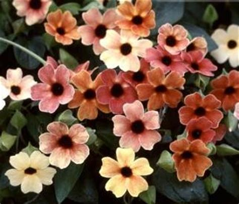 Deep Purple Bedding Unusual And Exotic Vine Seeds From Around The World