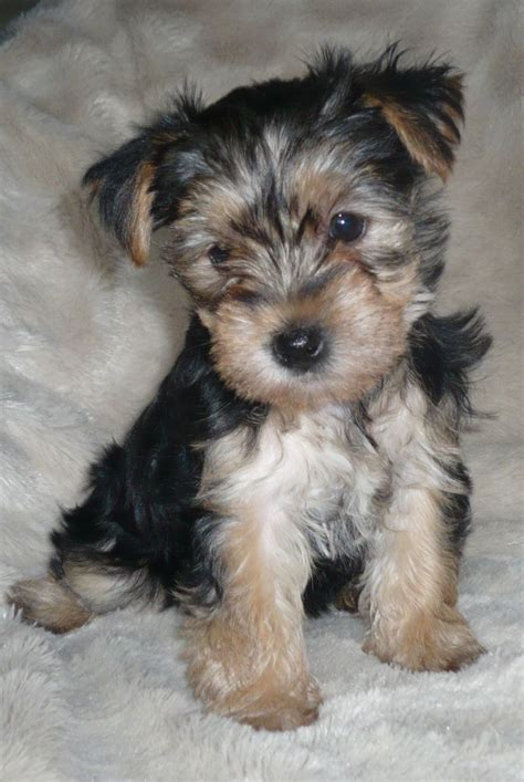 yorkie classifieds 1 4 westie 3 4 yorkie puppies ready january 6th spalding lincolnshire pets4homes