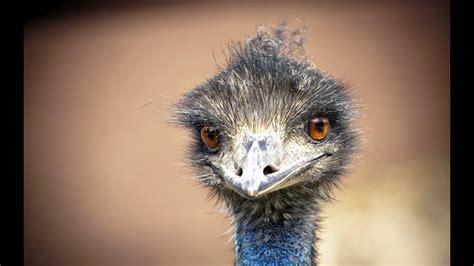 straus emuglupyy emu youtube